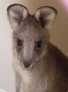Annie the Grey Eastern Kangaroo