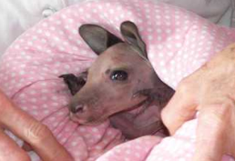 Rescue Helpline - Saxon the grey eastern kangaroo