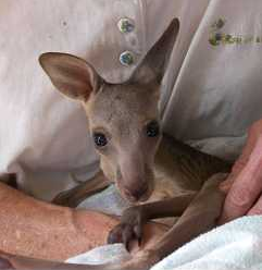 Banjo the grey eastern kangaroo