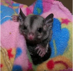 Squirrel Glider: Velvet